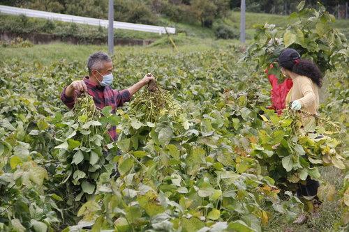 京丹波 黒豆収穫.JPG